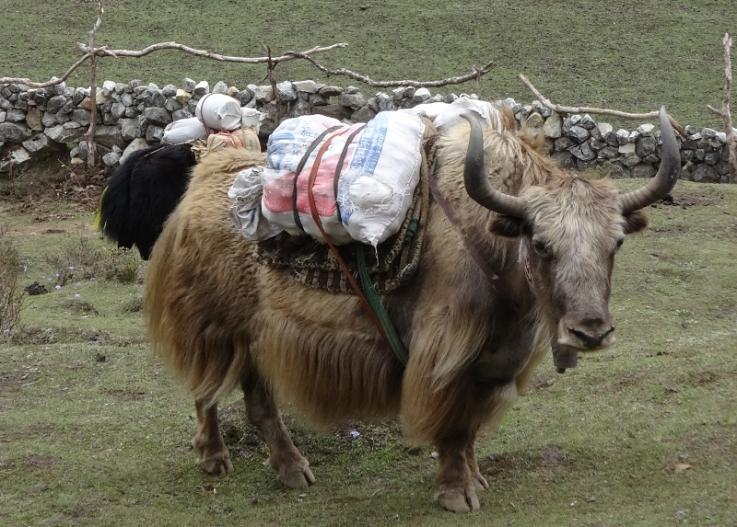 yak népal everest