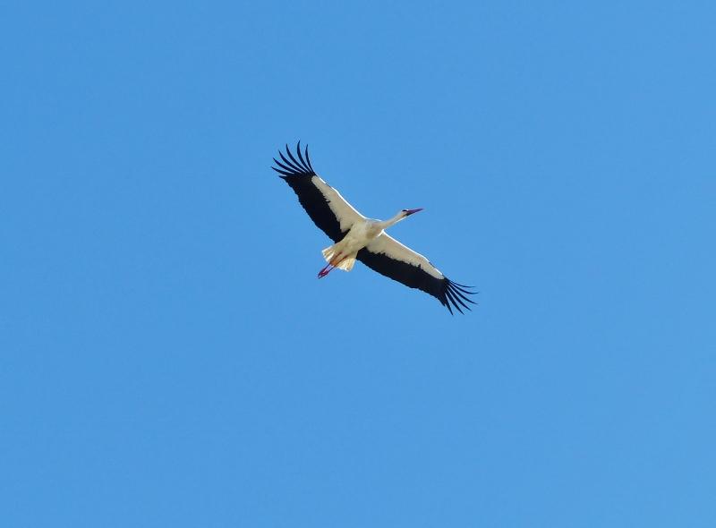 Algarve Portugal Cigogne en vol