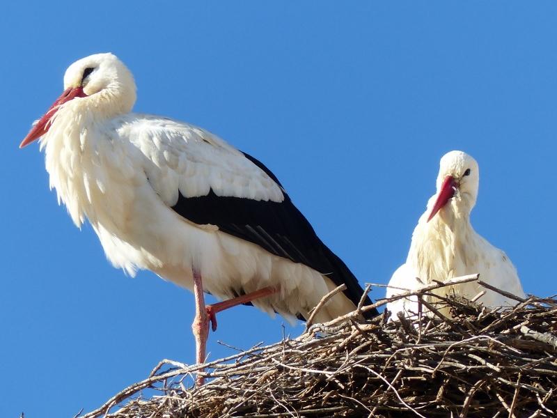Algarve Portugal Cigogne dans son nid