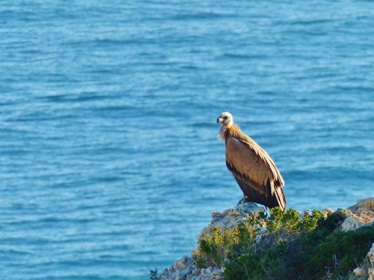 Algarve Oiseau