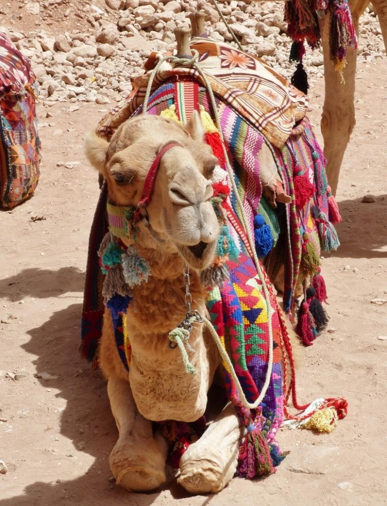 Un chameau coloré de pompons à Petra en Jordanie