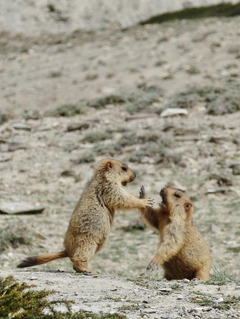 marmottes ladakh