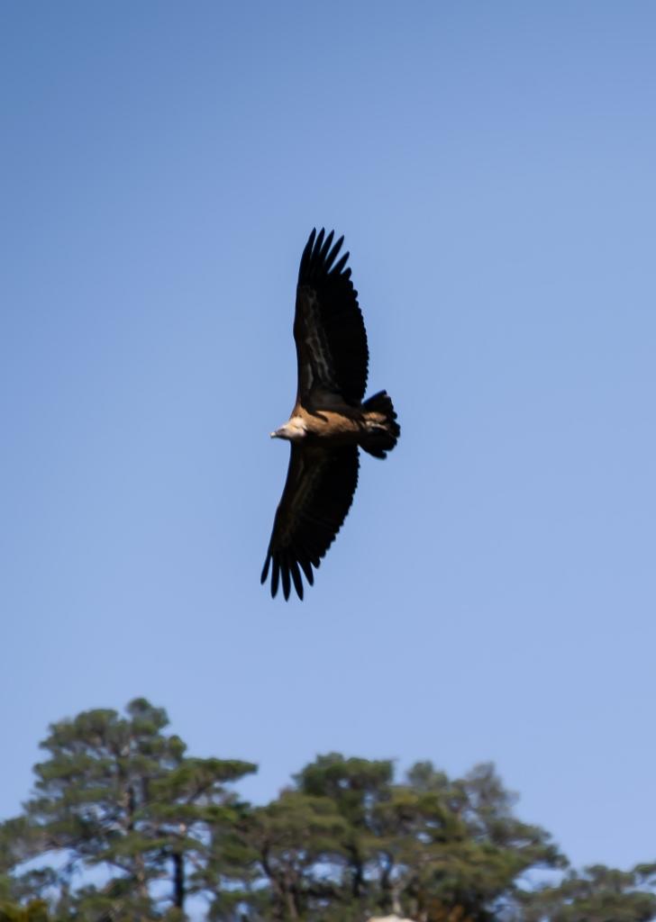 Les rapaces en Lozère, vautour fauve
