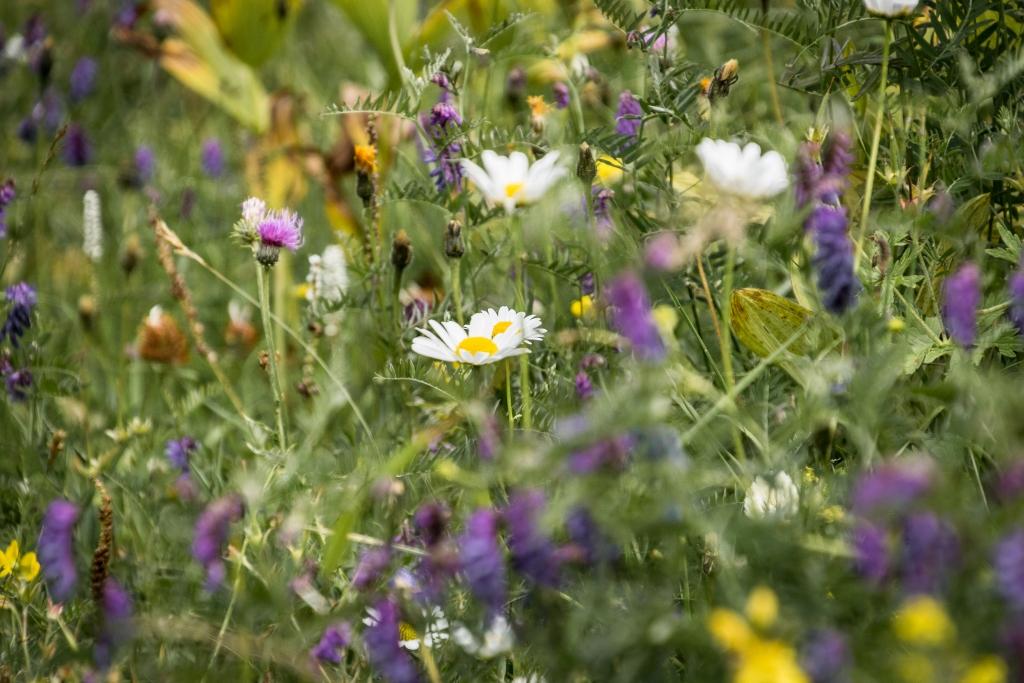 Les fleurs sauvages des Alpes